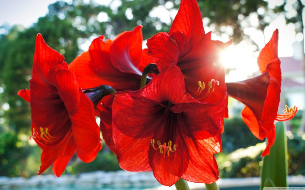 red_amarylis_flowers-wallpaper-2880x1800