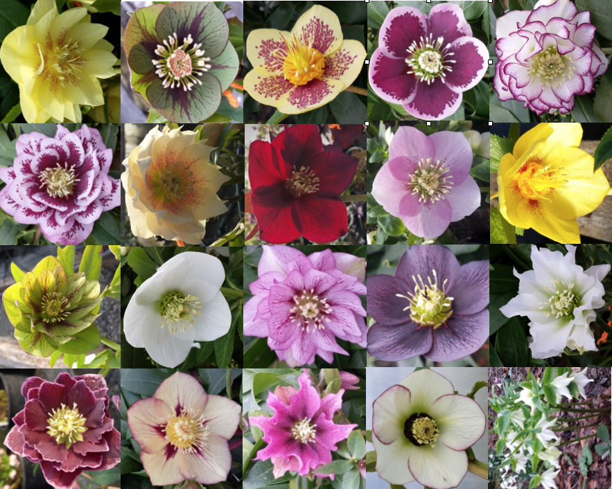 hellebore-multipic