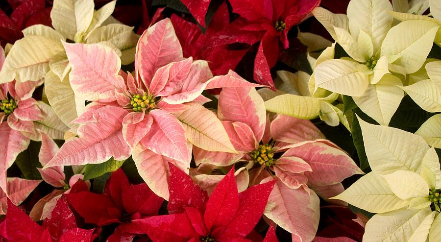 red-pink-and-white-poinsettias-chris-scroggins