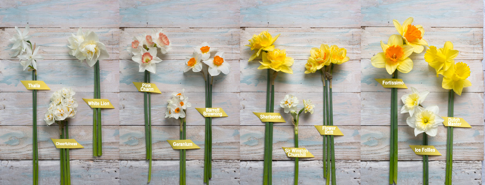 12_types_daffodils_narcissus