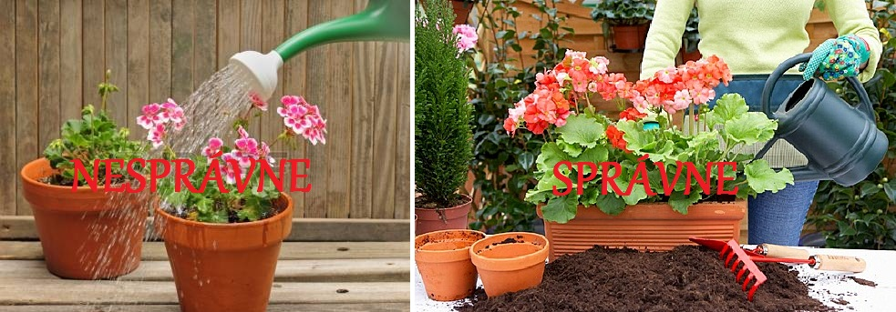 14558060-watering-can-sprinkling-water-on-geranium-plants