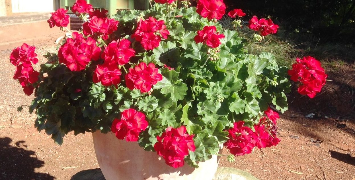 geranium-big-red-in-pot